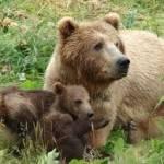 Кузбасский снежный человек оказался обычным медведем
