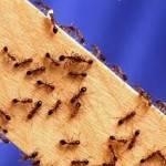Ученые рассказали об опасности вследствие нашествия муравьев